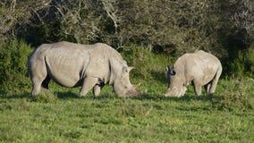 Африки rhinoceros белизна на юг Стоковое Изображение