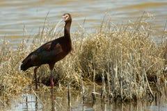 ая белизна ibis стоковые изображения