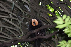 ая белизна saki обезьяны Стоковые Изображения