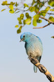 ая гора ветви синей птицы мыжская Стоковые Изображения RF