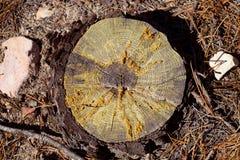 Ая деталь дерева сосенки cutted разделом Стоковые Фото