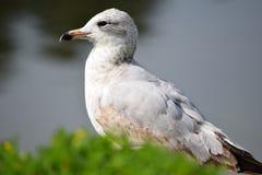 2-ая чайка сельдей зимы Стоковая Фотография