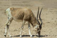 Аддакс антилопы в израильских природных ресурсах Стоковые Фото
