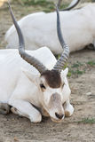 Аддакс антилопы Стоковые Изображения