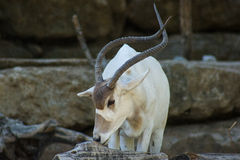 Аддакс (nasomaculatus аддакса), белая антилопа или антилопа screwhorn, зоологическая Стоковое Изображение