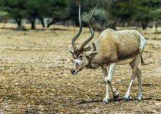 Аддакс антилопы в природных ресурс ресурсах, Израиле Стоковая Фотография