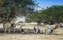 Аддакс антилопы в израильских природных ресурс ресурсах Стоковые Изображения