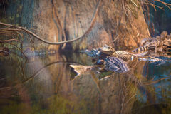 аллигаторы американские Стоковое фото RF