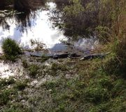 Аллигаторы в болотистых низменностях Стоковые Изображения RF