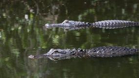Аллигаторы плавая, большой заповедник Cypress национальный, Флорида Стоковое Фото