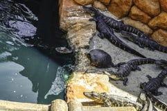 Аллигаторы & черепахи Стоковые Фотографии RF