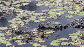 Аллигатор (аллигатор Mississippiensis) в болоте, большом Cypress, Флориде стоковая фотография rf