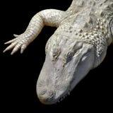 Аллигатор альбиноса Стоковое Изображение