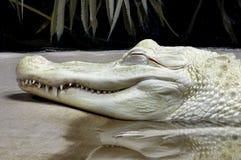 Аллигатор альбиноса стоковое изображение rf