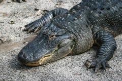 аллигатор большой стоковая фотография rf