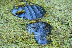 Аллигатор в болоте Стоковое Изображение RF