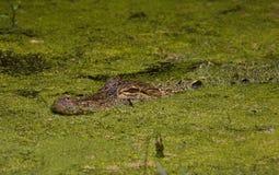 Аллигатор в болоте Стоковая Фотография