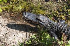 Аллигатор в болотистых низменностях Стоковая Фотография