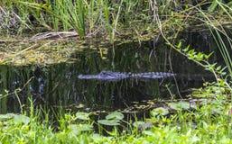 Аллигатор в воде, болотистых низменностях, Флориде Стоковая Фотография RF