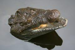 Аллигатор в воде стоковая фотография rf