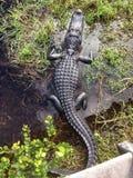 Аллигатор в национальном парке Флориде США болотистых низменностей Стоковая Фотография RF