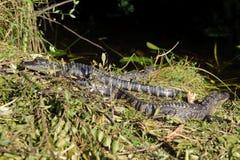 Аллигатор в парке болотистых низменностей стоковые изображения rf