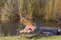 Аллигатор в парке болотистых низменностей стоковое фото
