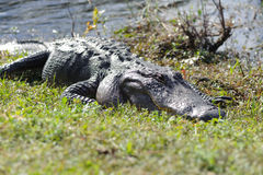 Аллигатор в парке болотистых низменностей стоковые фотографии rf