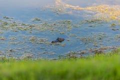 Аллигатор в пруде Стоковые Изображения