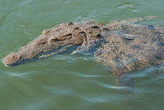 Аллигатор в ямайке Стоковая Фотография