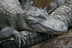 Аллигатор лежит на другом Стоковая Фотография RF