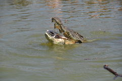 Аллигатор ест рыбу Стоковое Фото