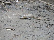 Аллигатор младенца в грязи стоковое изображение