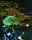 Аллигатор младенца в сентябре парка аллигатора Флориды США Стоковые Изображения RF