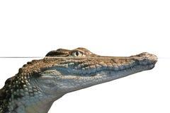 Аллигатор портрета Стоковая Фотография RF