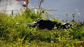 Аллигатор Флориды стоковая фотография