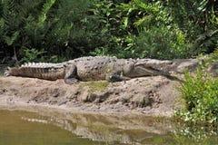 Аллигатор Флориды стоковые изображения