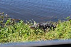 Аллигатор Флориды Стоковые Фото