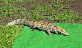 Аллигатор Стоковая Фотография RF