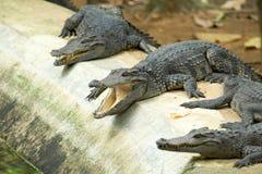 Аллигатор стоковое изображение rf
