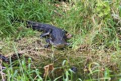 Аллигатор Стоковые Изображения RF