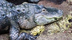 Аллигатор Mississippian Стоковая Фотография