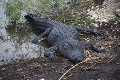 Аллигатор ` s Флориды Стоковые Фото