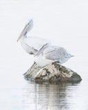 2 далматинских пеликана на утесе Стоковые Изображения