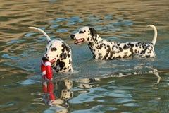 2 далматинских собаки в воде с dogtoy имеющ потеху Стоковые Фото