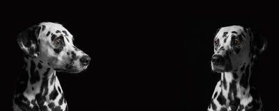 2 далматинских собаки против черной предпосылки Стоковые Фотографии RF