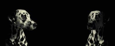 2 далматинских собаки против черной предпосылки Стоковая Фотография
