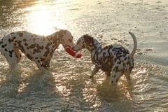 2 далматинских собаки с водой забавляются в солнечном свете вечера Стоковые Изображения
