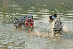 2 далматинских собаки с водой забавляются играть в озере Стоковое Фото