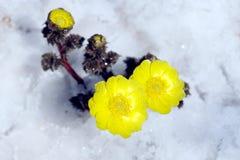 Адонис в снеге стоковые изображения